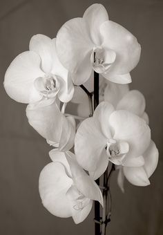 white orchids all white phal!  Love them, saw them at an orchid show yesterday, awesome!