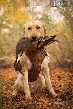Yellow Labrador retriever duck hunting. Nevada lab puppy with a pintail.