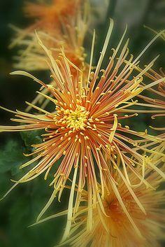 Shade Garden Flowers And Decor Ideas Flower Fireworks Unusual Flowers, Amazing Flowers, Beautiful Flowers, Potager Bio, Zinnias, Chrysanthemums, Chrysanthemum Flower, Exotic Plants, Orange Flowers