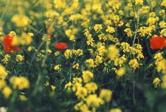 gelbe und rote Blüten - Foto: S. Hopp