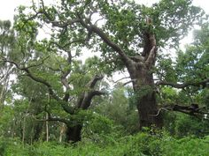 Ancient oaks, Sherwood Forest