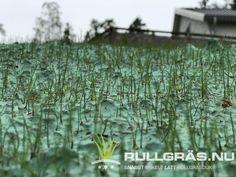 Gräset göder sig i rullgräsduken och bara efter några dagar börjar gräsmattan snabbt bli tätare och tätare. Fin och bra fröblandning för grönare och tåligare gräsmatta. Herbs, Plants, Herb, Plant, Planets, Medicinal Plants