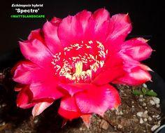Echinopsis cv Spectre