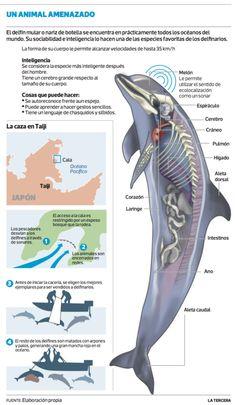 El delfín mular.  Medio: La Tercera, del 21 de enero. 2014 Biology Art, Marine Biology, Animals Of The World, Animals And Pets, Dolphin Facts, Ocean Unit, Salt Water Fish, Animal Science, Water Life