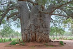 Superfood Feature: The health benefits of Baobab (new to Aussie shores!)