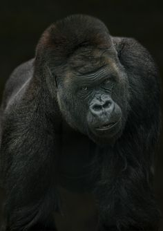 Kifu - Kifu, one of the new gorillas at Howletts in Kent.  They have released over 20 gorillas back into the Congo successfully which is brilliant news.