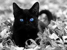 Lindo gato negro