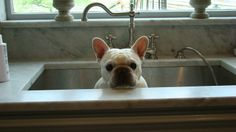 Daystar French bulldogs   Click on the pictures below to expand.