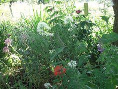 Valerian, allium, roses and poppies Allium, Poppies, Garden Design, Roses, Plants, Pink, Rose, Poppy, Landscape Designs