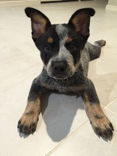 Precious Cattle Dog Pup - Tried and tested puppy training tips inside! Cute Funny Animals, Cute Baby Animals, Animals And Pets, Strange Animals, Cute Dogs And Puppies, I Love Dogs, Doggies, Cute Creatures, Animals Beautiful