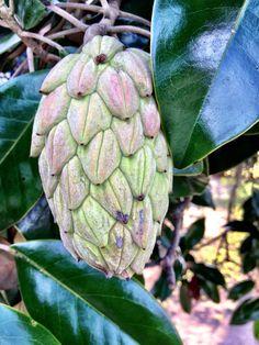 Magnolia Seed Pod: Charleston, SC.