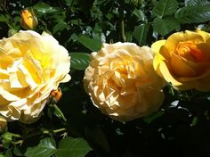 Henry Fonda roses in my front garden www.mysoulfulhome.com