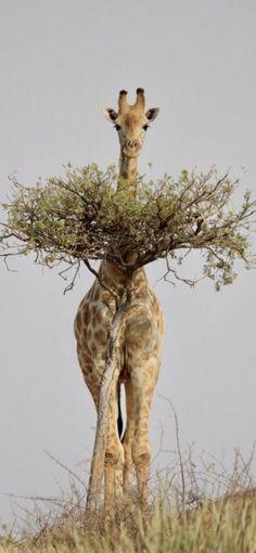 College Walls, Wall Collage, Wildlife, Giraffes, Animals, Animales, Animaux, Animal, Animais