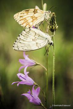 Trompettes roses et muettes sous des amants de soie qui ne peuvent deviner le dessein sur leurs ailes cette fresque inachevée comme une errance éphémère qui vibre à l'unisson du silence. BT