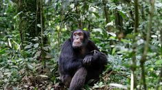 Chimps are known to be methodical hunters, surrounding an unfortunate monkey victim before striking it dead, tearing the prey apart, and sharing the spoils. But it turns out that this behavior may be influenced by human observers, who have spent decades habituating the apes to allow them to watch.