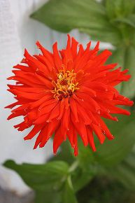 practically care free flowers as well as beautiful amp show stoppers, flowers, gardening, perennials, Cactus Zinnia Zinnia s are one of the easiet and quickest flowers to grow by seed