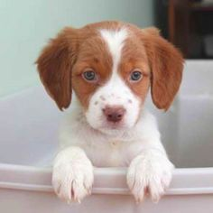 "Figure out additional information on ""cocker spaniel puppies"". Visit our web site. Cute Puppies, Cute Dogs, Dogs And Puppies, Doggies, Englisch Springer Spaniel, Brittany Spaniel Puppies, Baby Animals, Cute Animals, The Lone Ranger"