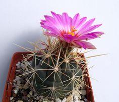 Thelocactus tulensis ssp. buekii