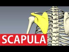 Scapula Or Shoulder Blade - Shoulder Girdle - Anatomy Tutorial Shoulder Anatomy, Scapula, Body Anatomy, Girdles, Anatomy Tutorial, Pressure Points, Anatomy And Physiology, Workout Ideas, Blade