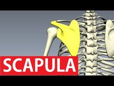 http://www.flashbrainanatomy.com/ - Scapula anatomy or the shoulder blade bone...