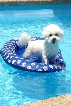 Best Bichon ever!  13 year old Lucy loves the pool!