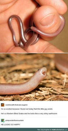 This Western Blind Snake is soooooo cute! – This Western Blind Snake is soooooo cute! Cute Funny Animals, Cute Baby Animals, Funny Cute, Animals And Pets, Hilarious, Super Funny, Les Reptiles, Cute Reptiles, Reptiles Preschool