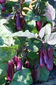 No garden is complete without eggplant.