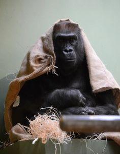 Gorilla kleed zich lekker warm aan op Warme Truien dag in Diergaarde Blijdorp.