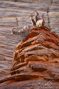Big Horn Sheep, Zion National Park, Utah - (photo by Danny Seidman) <> (western, wild wild west, landscape) Big Horn Sheep, Parque Natural, King Of The Hill, Zion National Park, Zion Park, Beautiful Creatures, Animal Kingdom, Pet Birds, Funny Animals