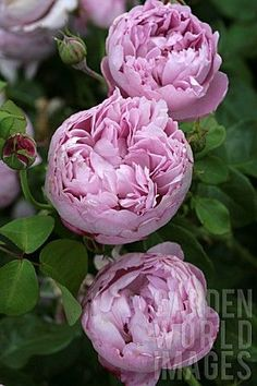 Garden Rose David Austin Fragrance 29 Ideas – Famous Last Words Flowers Nature, Pretty Flowers, Exotic Flowers, Purple Flowers, Beautiful Roses, Beautiful Gardens, David Austin Rosen, Rose Foto, Parfum Rose