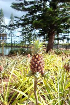 Mini Pineapples @ the Dole Plantation Tried planting never could get one to bloom