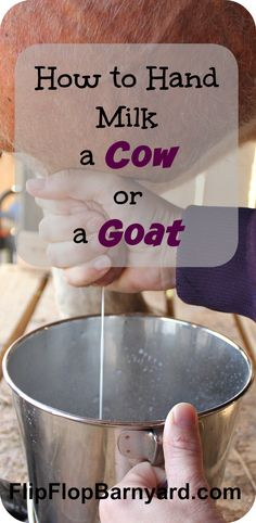 How to Hand Milk a Cow or a Goat | The Flip Flop Barnyard