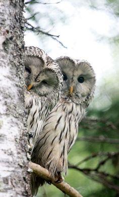 A pair of Ural owls (Strix uralensis) Beautiful Owl, Animals Beautiful, Cute Animals, Wild Animals, Baby Animals, Owl Photos, Owl Pictures, Owl Bird, Pet Birds