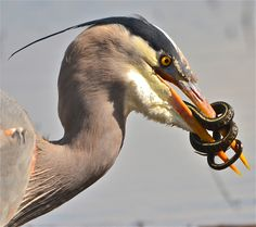 Hunter by Mehrdad Shojaei on Capture Southwest Washington // Blue Heron got a snake. It is amazing how the colors of the hunter and the victim are matched! The only thing snake could do was to wrap himself around the bird's beak, but it did not last more than 2-3 minutes!