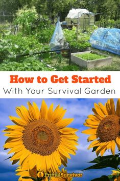 How to get started with your survival garden. Help with choosing the rightsite and establishing your garden. How to water, mulch and which vegetables to grow. #homesteading #survivalgarden #shtf #emergencypreparedness #howtogrow #gardening #primalsurvivor #raisedbeds