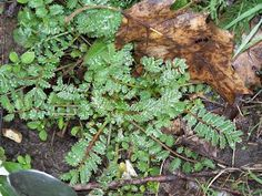 Zoom sur la Consoude et la Pimprenelle : 2 plantes sauvages comestibles