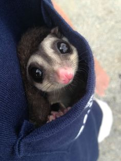 """This is a sugar glider.they are adorable, but are they """"appropriate"""" for pets? Are they considered """"exotic"""" pets? Just make sure you investigate before you get one . Cute Funny Animals, Cute Baby Animals, Funny Cats, Pocket Pet, Flying Squirrel, Dog Wash, Little Critter, Mundo Animal, Cute Animal Pictures"""