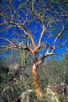 Alamos Trees; Bursera Grandifolia
