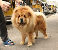 The lion dog