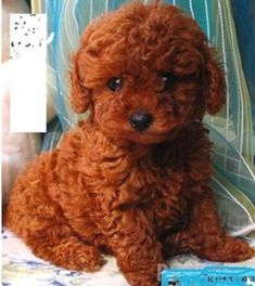 caramel and black maltipoo Red Poodles, Mini Poodles, French Poodles, Standard Poodles, Teacup Maltipoo, Maltipoo Puppies, Corgi Puppies, Cockapoo, Pets