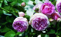'Jasmina' trägt stark gefüllte weiß-rosa Blüten mit angenehmem Duft. Die erste Blüte setzt relativ spät ein und erreicht ihren Höhepunkt oft erst Anfang August. Die zweite, schwächere Blütenphase beginnt Anfang September. Die schweren Blüten sitzen meist an bogenartig überhängenden Trieben und reinigen sich vor allem bei feuchter Witterung sehr schlecht. Die Kletterose wächst aufrecht, wird bis zwei Meter hoch und ist sehr widerstandsfähig gegen Blattkrankheiten. Deshalb wurde sie 2007 mit…
