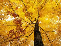 Yellow Maple Tree Seeds Fast Growing and Cold by CheapSeeds, $1.99