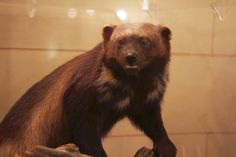 A wolverine was discovered in the northern Thumb region of Michigan in 2004, and was the first one seen in Michigan in 200 years. After being discovered in 2004, the wolverine continued to roam in the Minden City State Game Area until she died of congestive heart failure in 2010. It was later taxidermied. A few wolverines may have lived in the Upper Peninsula during the fur trade era, but there is such little evidence that it's hard to be certain.