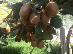 www.cultivatuskiwis.com Venta de #Kiwis #online. Te enviamos a tu hogar tu cosecha de Kiwis de tu Árbol Apadrinado