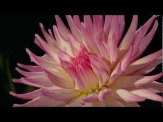 Đẹp tuyệt vời khoảnh khắc hoa nở - YouTube
