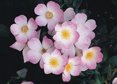 """Lyda Rose  Shrub rose  Bred by Kleine Lettunich from `Francis E. Lester'. Named for her daughter and the song from The Music Man. The white blooms edged with lavender-pink have an ethereal appearance and the wonderful fragrance can be enjoyed even several feet from the bush. The apple-blossom-like 2"""" blooms (petals 5) appear in profusion on a spreading (petals 5) plant with rich green, disease resistant foliage. Will bloom profusely in shade. Coming to me in March.  Yea."""