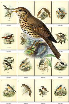 BIRDS-57 Collection of 95 vintage pictures Warbler Chat Songster Songbird Redstart Thrush Wren digital download printable 300 dpi animals data-share-from=listing > <span class=etsy-icon