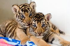 A baby tiger can be so cute. Tiger cubs are one of the cutest baby animals. Check out this cute and funny baby tiger videos compilation Cheetah Cubs, Leopard Cub, Snow Leopard, Cute Baby Animals, Animals And Pets, Funny Animals, Wild Animals, Bengalischer Tiger, Tiger Cubs