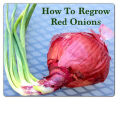 How to regrow red onions once they have started sprouting. Also includes a link to how to regrow garlic, celery, and green onions.