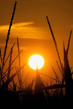 The sun rises Sunday, July 15, 2012, in Pleasant Plains, Ill. Corn stalks are struggling in the heat and continuing drought that has overcome most of the country